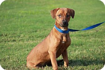 Dachshund Mix Dog for adoption in Fenton, Missouri - Lilly