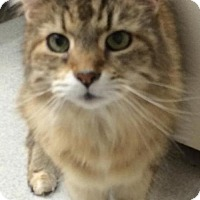 Domestic Longhair Cat for adoption in Spokane, Washington - Unaella