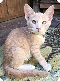 Domestic Shorthair Kitten for adoption in North Highlands, California - TootsieL