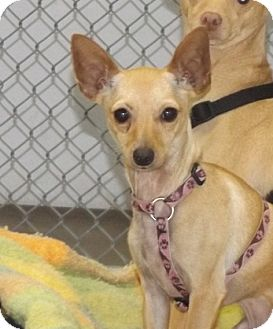 Chihuahua Dog for adoption in Orleans, Vermont - Bailey