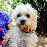 Adopt A Pet :: PEBBLES - Pacific Palisades, CA