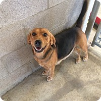 Beagle/Hound (Unknown Type) Mix Dog for adoption in Sparta, New Jersey - Sparkle - ready 11/28