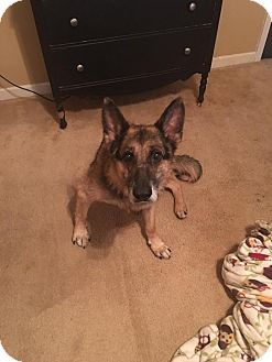 German Shepherd Dog Mix Dog for adoption in Portland, Maine - Champ (Cat Friendly)