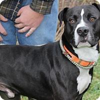 Adopt A Pet :: Bobtail Bob - Hillsdale, IN