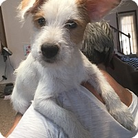 Jack Russell Terrier Mix Puppy for adoption in San Antonio, Texas - Charlie in San Antonio