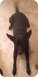 Labrador Retriever/German Shepherd Dog Mix Dog for adoption in Houston, Texas - Riley