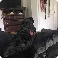 Adopt A Pet :: Beau - Seahurst, WA