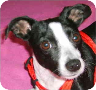 Boston Terrier Mix Dog for adoption in North Augusta, South Carolina - PIXIE