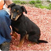 Australian Kelpie/Manchester Terrier Mix Dog for adoption in Lawrenceburg, Tennessee - Carrie