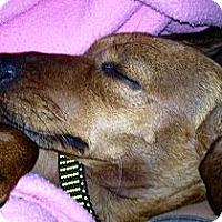 Adopt A Pet :: COCOA - Portland, OR