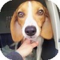 Adopt A Pet :: Lillie - Novi, MI