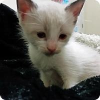 Adopt A Pet :: Indigo-Rosebud's baby - McDonough, GA