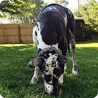 Adopt A Pet :: Blue - O'Fallon, MO