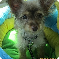 Adopt A Pet :: Gremlin - Orange Park, FL