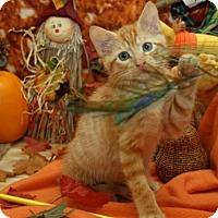 Adopt A Pet :: Tiger Joe - Bedford, TX