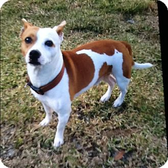 french bulldog jack russell mix brutus adopted dog palm bay fl french bulldog jack 9540