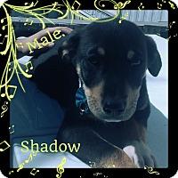 Adopt A Pet :: Shadow Adoption pending - Manchester, CT