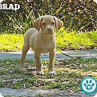 Adopt A Pet :: Brad - Kimberton, PA