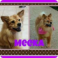 Adopt A Pet :: Meeka - Fort Collins, CO