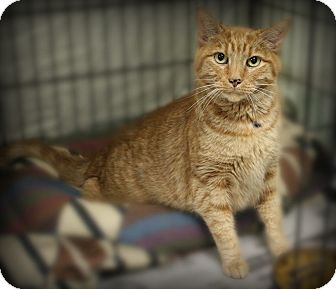 Domestic Shorthair Cat for adoption in Glen Mills, Pennsylvania - Captain