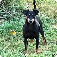 Miniature Pinscher Dog for adoption in Holland, Ohio - Klink