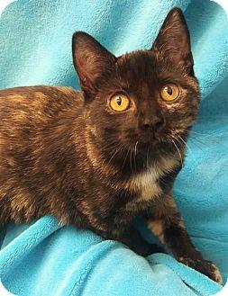 Domestic Shorthair Kitten for adoption in Colorado Springs, Colorado - Spearow