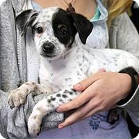 Adopt A Pet :: Pippy - Harrison, NY