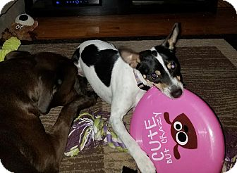 Rat Terrier/Smooth Fox Terrier Mix Puppy for adoption in Mentor, Ohio - PETE**6-9 months & 12 lbs!!!