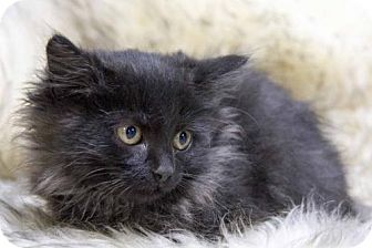Domestic Longhair Kitten for adoption in St. Louis Park, Minnesota - Ne-Hao