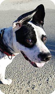 Australian Cattle Dog Mix Dog for adoption in Ventura, California - Atlas