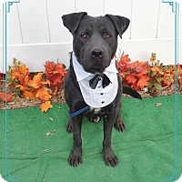 Labrador Retriever Mix Dog for adoption in Marietta, Georgia - DOVER see video!