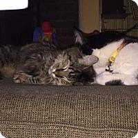 Domestic Mediumhair Kitten for adoption in Livonia, Michigan - Jingles