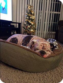 English Bulldog Dog for adoption in Strongsville, Ohio - Hooch