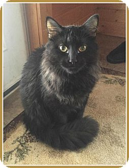 Domestic Longhair Cat for adoption in Valley City, North Dakota - Loki