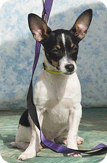 Chihuahua/Dachshund Mix Puppy for adoption in Alpharetta, Georgia - Pino
