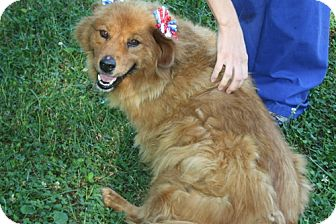 Chow Chow/Golden Retriever Mix Dog for adoption in Marietta, Georgia - Brownie