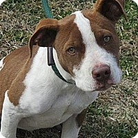 Adopt A Pet :: BOGEY/Very KID FRIENDLY - Glastonbury, CT