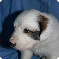Adopt A Pet :: Oliver - Stilwell, OK