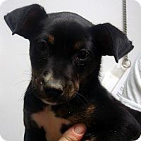 Adopt A Pet :: Socks - baltimore, MD