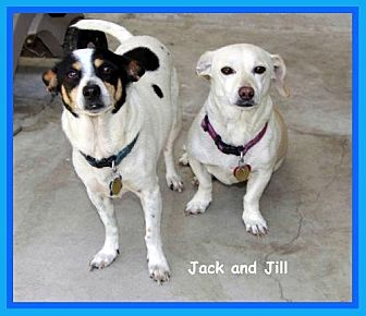 Rat Terrier/Terrier (Unknown Type, Medium) Mix Dog for adoption in Midway City, California - Jack