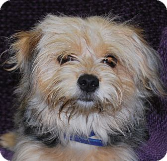 yorkie rescue kentucky lexington ky yorkie yorkshire terrier mix meet shaggy 3623