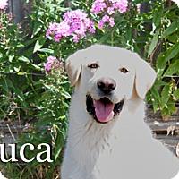 Adopt A Pet :: Luca - Hamilton, MT