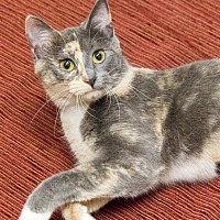 Domestic Shorthair Cat for adoption in Chicago, Illinois - Ava