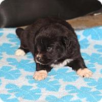Adopt A Pet :: Ralphie - Huntsville, AL