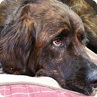 Adopt A Pet :: Brenda - Bellflower, CA