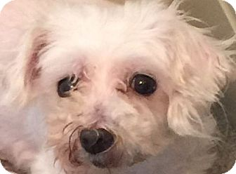 Maltese Dog for adoption in St Louis, Missouri - Ali