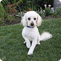 Adopt A Pet :: ADRIEN - Newport Beach, CA