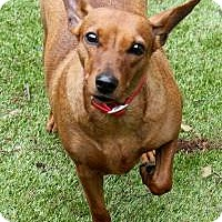 Dachshund/Miniature Pinscher Mix Dog for adoption in Memphis, Tennessee - Red