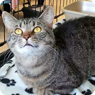 Domestic Shorthair Cat for adoption in Verdun, Quebec - Charlie
