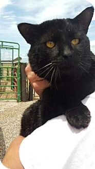 Domestic Shorthair Cat for adoption in Spanish Fork, Utah - Big Tom